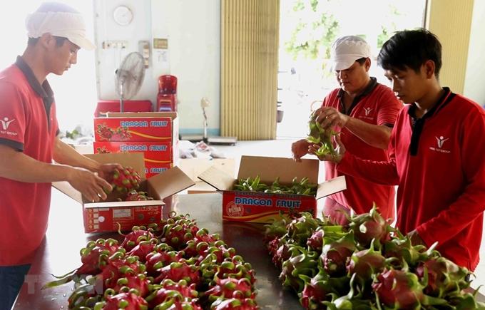 越南红心火龙果销售周在澳大利亚举行