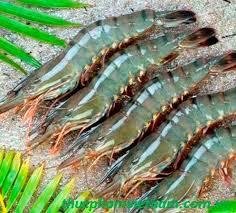 越南向欧盟市场出口EVFTA生效以来的首批虾类