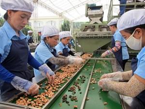越南保持世界第一大腰果加工和出口国地位