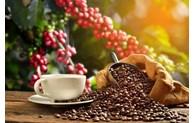 开发越南优质咖啡国家产品