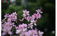 西北地区羊蹄甲花在首都河内悄然盛开