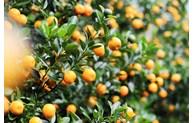 春节家里摆放盆金橘的寓意