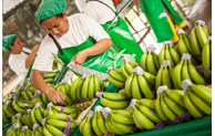 越南香蕉对欧盟的出口价格升至高位