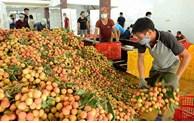 每天经老街口岸出口中国的北江荔枝超过500吨