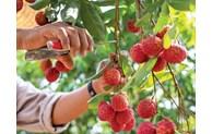 越南北江省荔枝在8个国家获得品牌保护