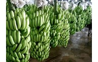 越南恢复对中国市场出口新鲜香蕉