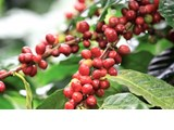 越南咖啡对韩国的出口或将继续增长