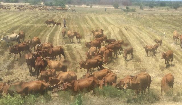 Hướng đến mục tiêu phát triển bền vững nghề nuôi bò thịt