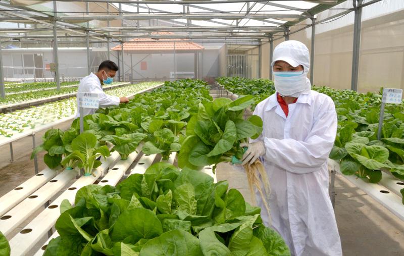 Ứng dụng công nghệ cao trong sản xuất rau sạch