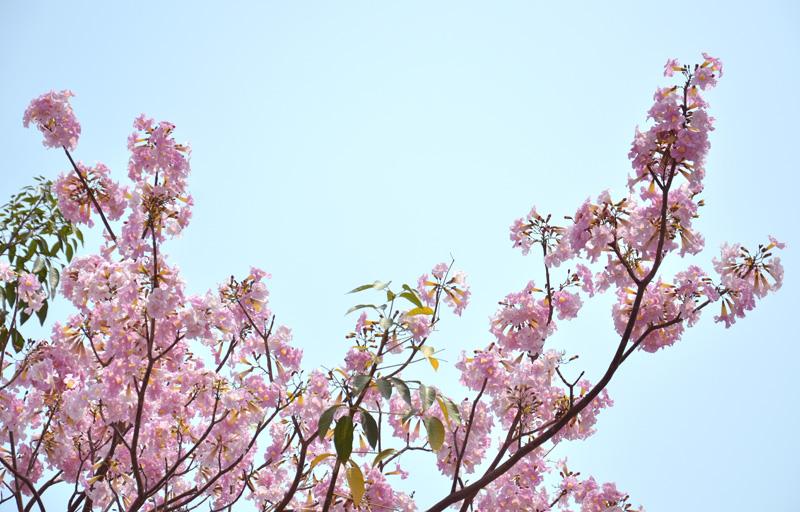 Hoa kèn hồng khoe sắc thắm trên phố