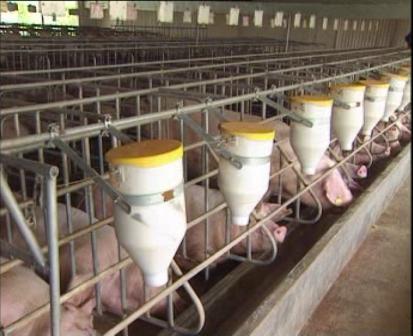 Ngành Nông nghiệp chủ động phòng, chống dịch tả lợn châu Phi