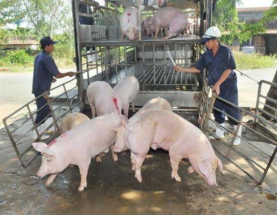Khẩn cấp ứng phó với dịch tả lợn châu Phi