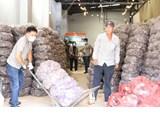 Tiêu thụ hàng nghìn khoai lang tím cho nông dân Vĩnh Long