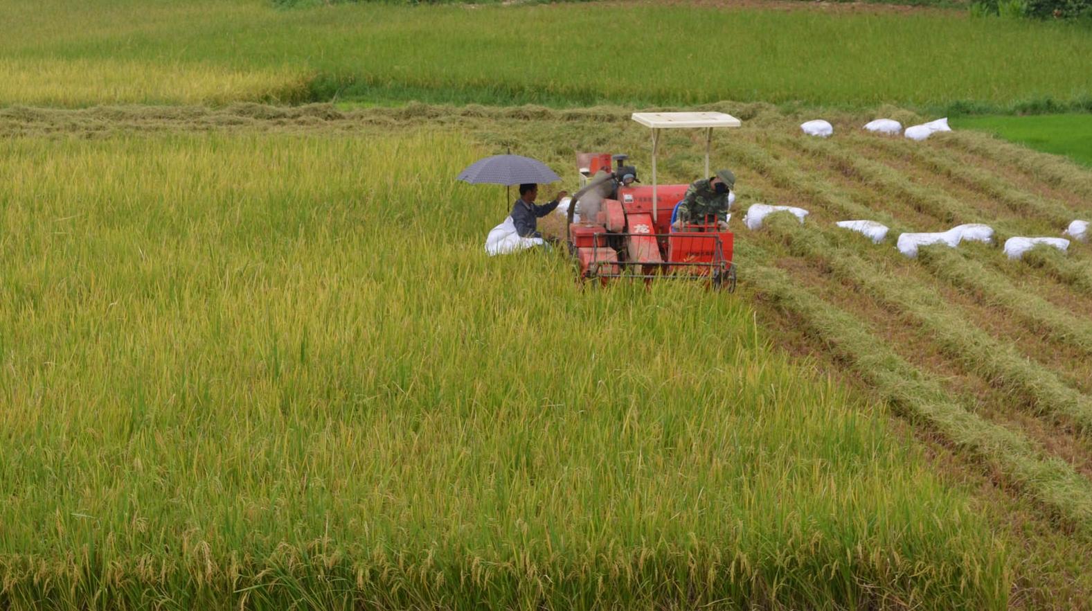 Gần 33.000ha lúa được gieo cấy