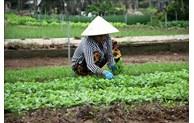 Làng nghề trồng rau truyền thống Trà Quế, niềm tự hào của người dân phố cổ Hội An