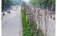 Hà Nội thay thế hàng cây phong tại đường Nguyễn Chí Thanh - Trần Duy Hưng