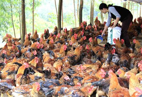 """""""Gà đồi Yên Thế"""" lọt vào danh sách thực phẩm tốt nhất Đông Nam Á"""