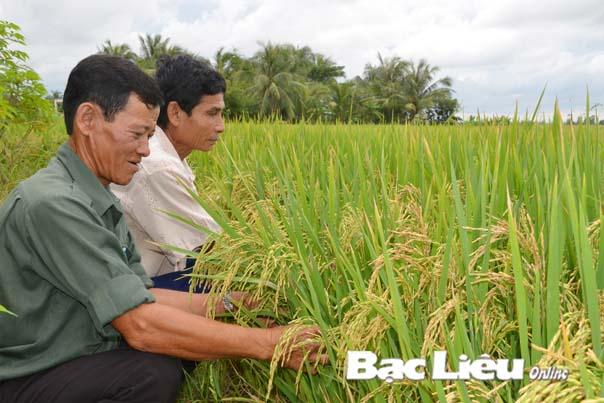 Duy trì và nhân rộng mô hình cánh đồng mẫu lớn