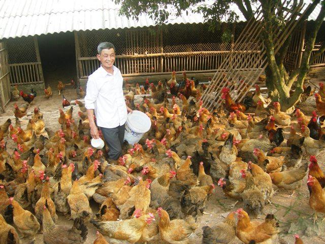 Gà đồi Yên Thế, 1 trong 3 nông sản chủ lực của tỉnh Bắc Giang
